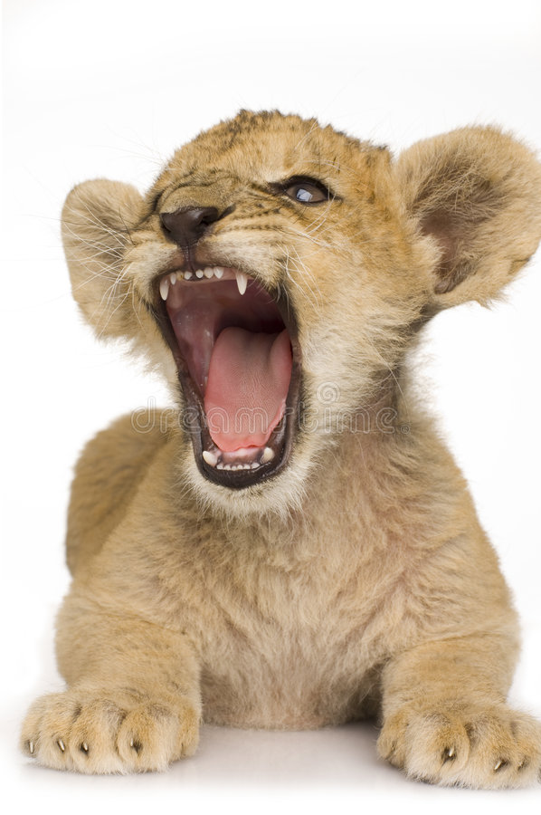 Löwe Cub (3 Monate) lizenzfreie stockfotos
