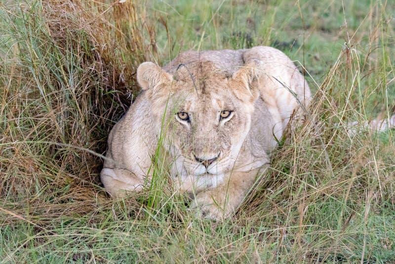 Löwe in den Wiesen auf Masai Mara, Kenia Afrika stockbild