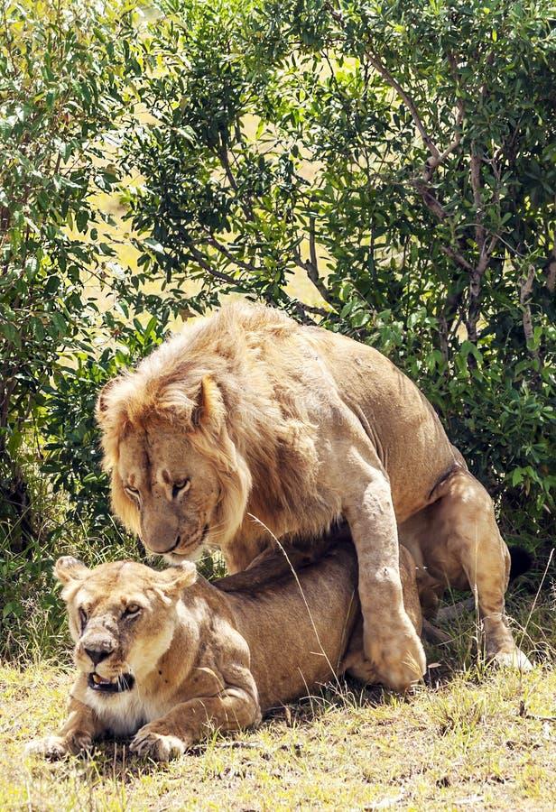 Löwe, der über einer Löwin brüllt lizenzfreies stockbild