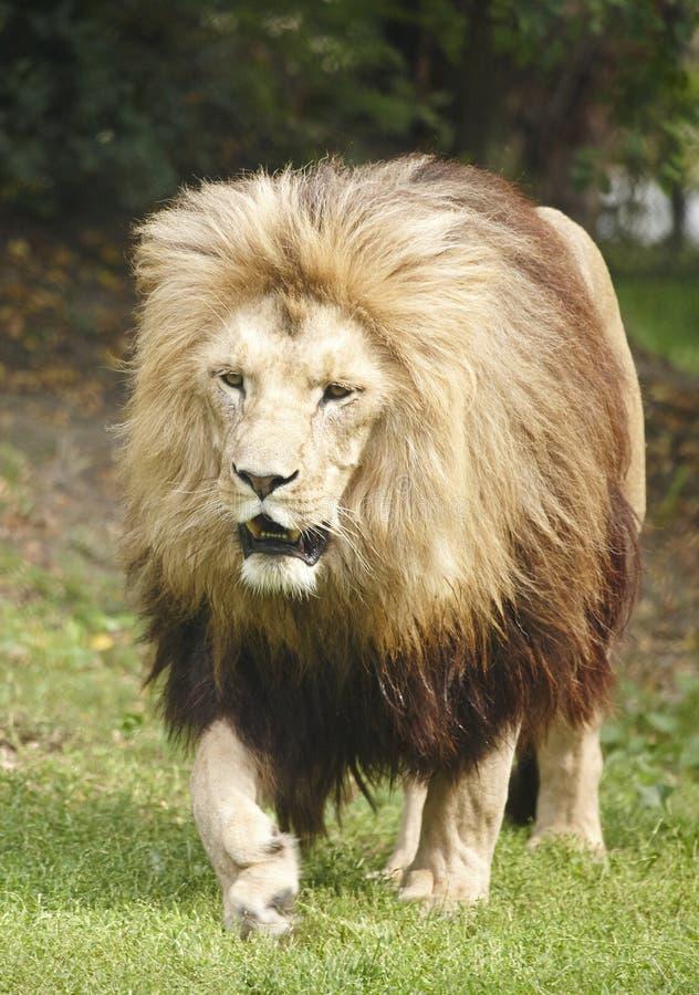 Löwe der König stockbild