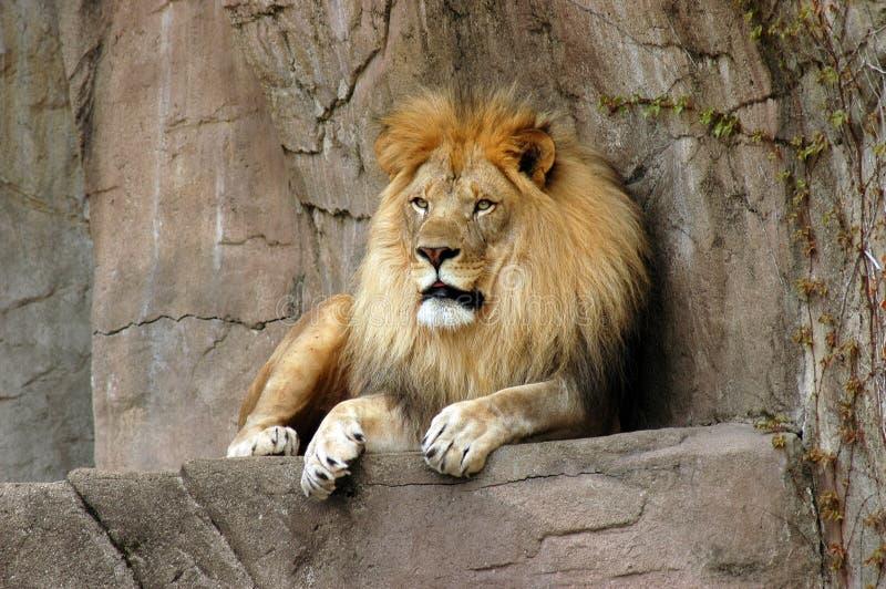 Löwe, der auf einer Felsenleiste am Brookfield Zoo stillsteht stockbild