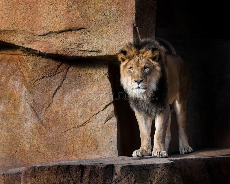 Löwe, der aus den Schatten heraus tritt lizenzfreie stockbilder