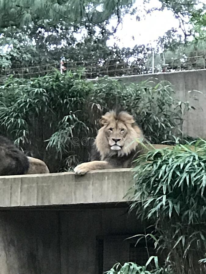 Löwe, der an der Wartezeit sitzt stockbilder