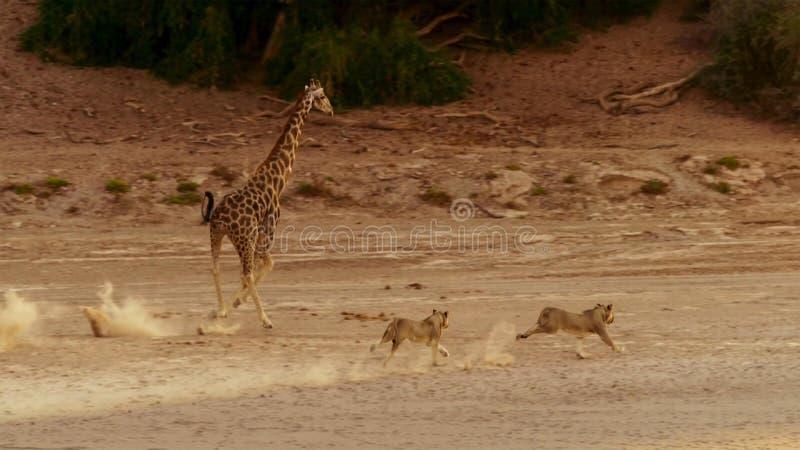Löwe, der eine Giraffe in der Reserve Etosha-wild lebender Tiere in Namibia jagt stockfotos