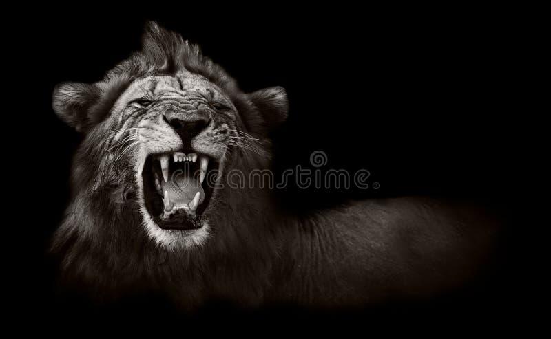 Löwe, der gefährliche Zähne anzeigt stockbilder