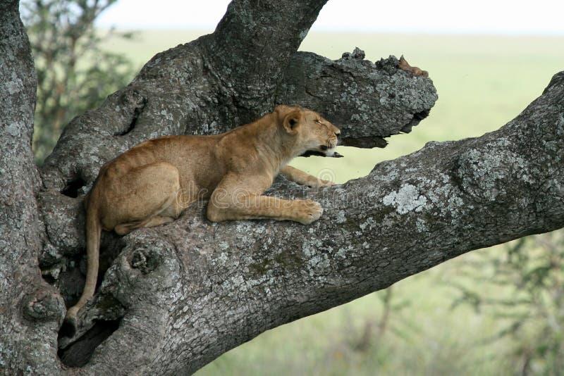 Löwe, der im Baum - Serengeti, Afrika sitzt stockfotos