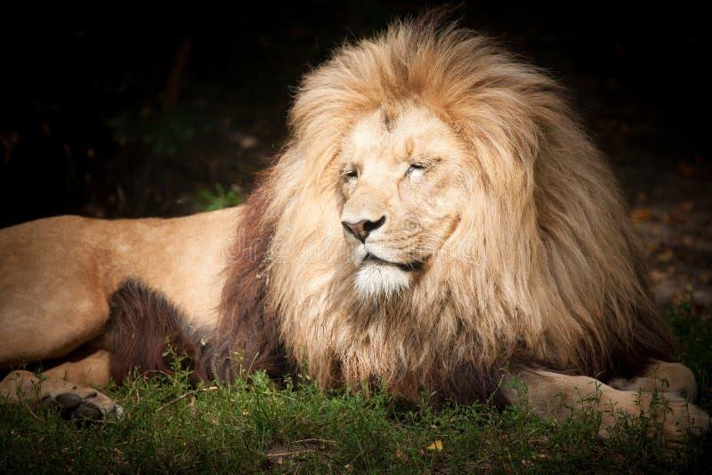 Löwe der König stockfotografie