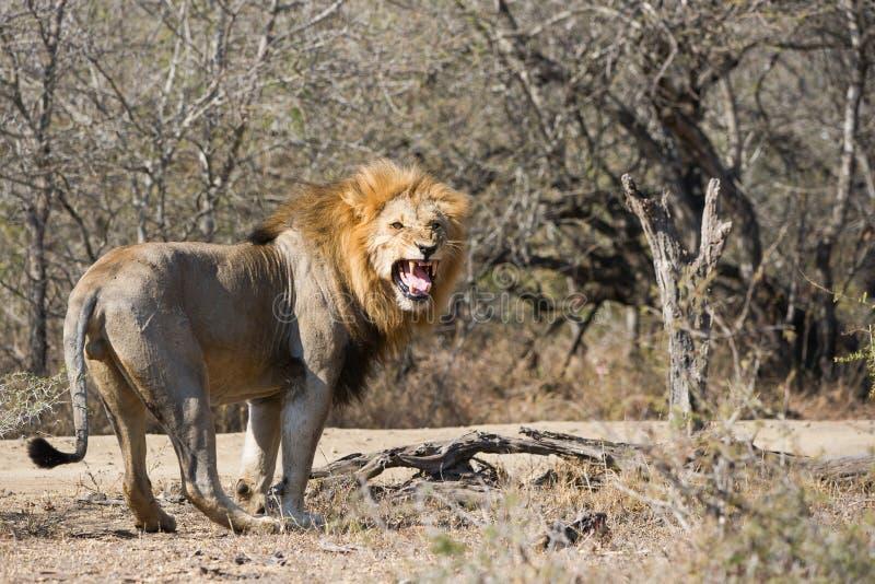 Löwe, der Kamera gähnendes Südafrika betrachtet stockfotos
