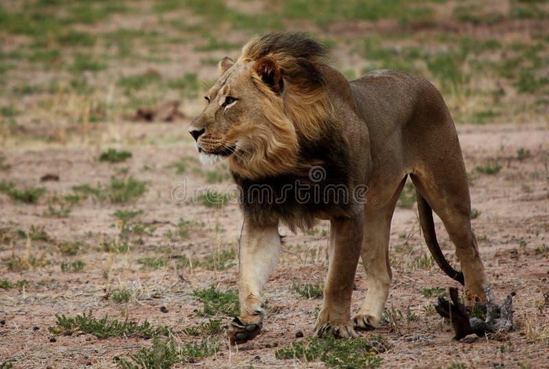 Löwe, der mit Wind durch Mähne geht stockfoto