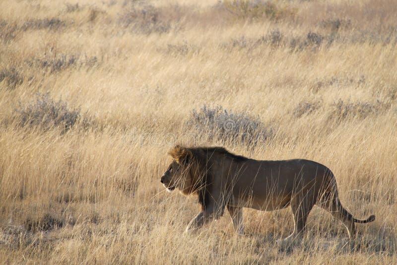 Löwe in der Savanne lizenzfreie stockfotos