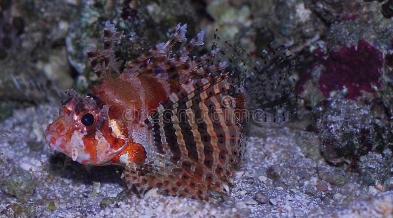Löwe des Meeres stockbilder