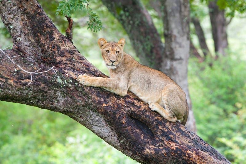 Löwe in einem Baum stockfoto