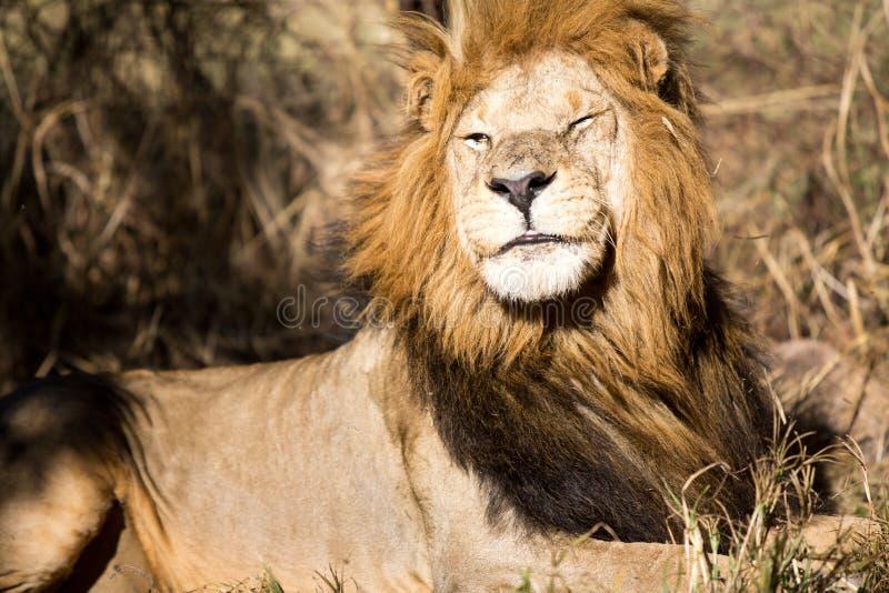 Löwe in einem Wildpark in Simbabwe lizenzfreies stockbild