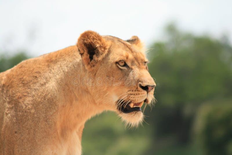 Löwe hat ihren Anblick auf dem Opfer stockfotos