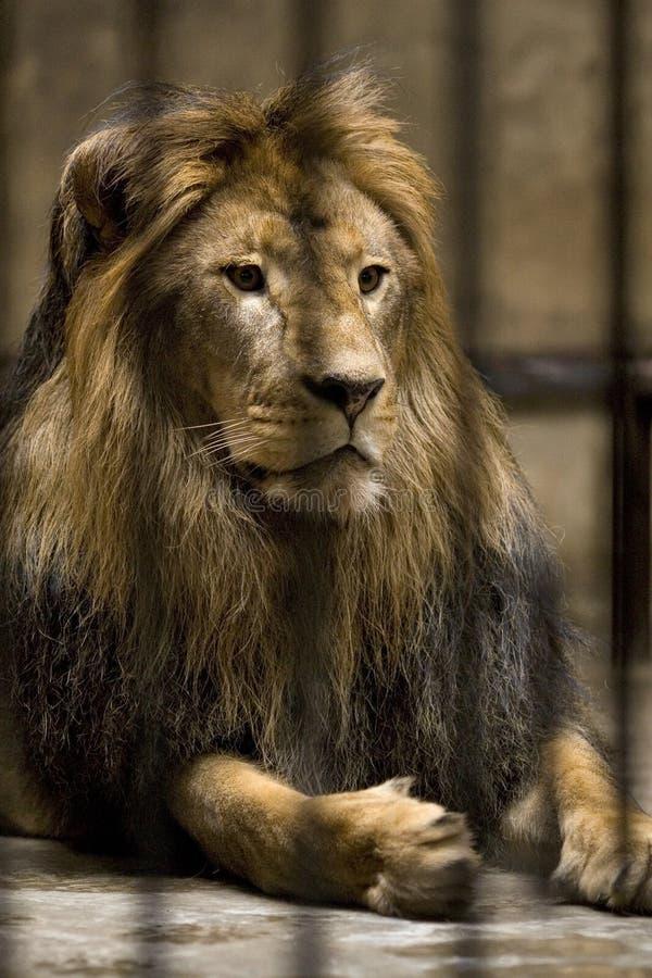 Löwe im Rahmen stockfoto
