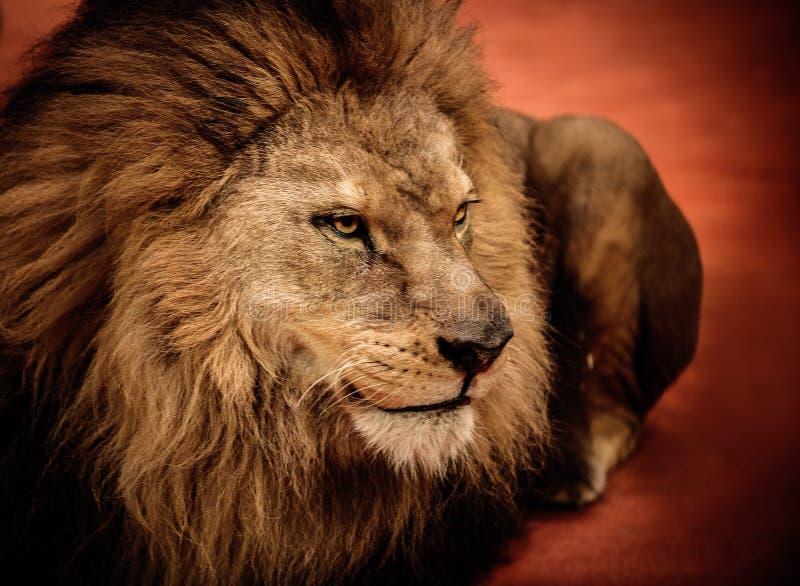 Löwe im Zirkus stockbild