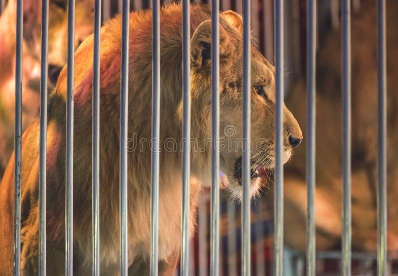 Löwe im Zirkus stockbilder