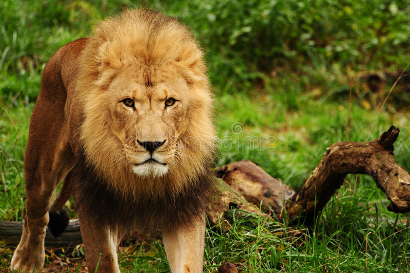 Löwe-König stockbilder