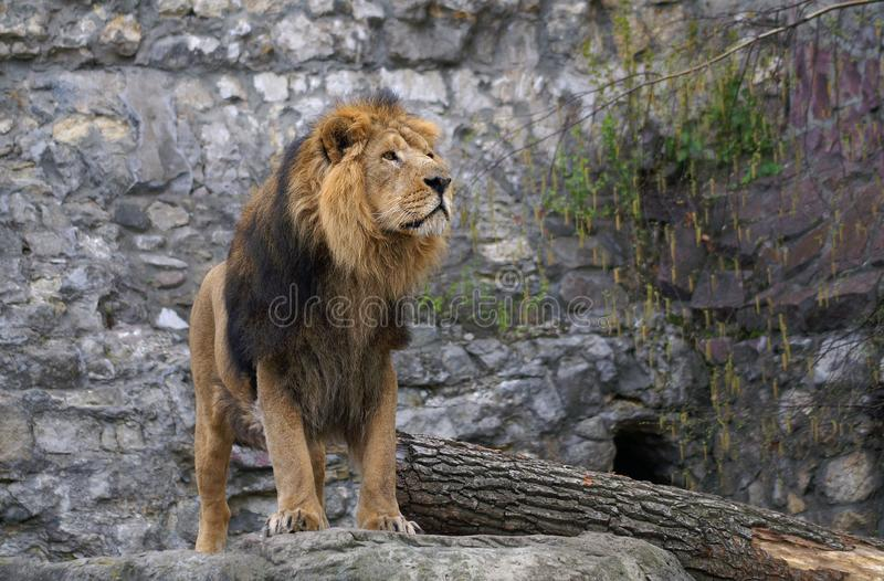 Löwe - König von wildem stockbild