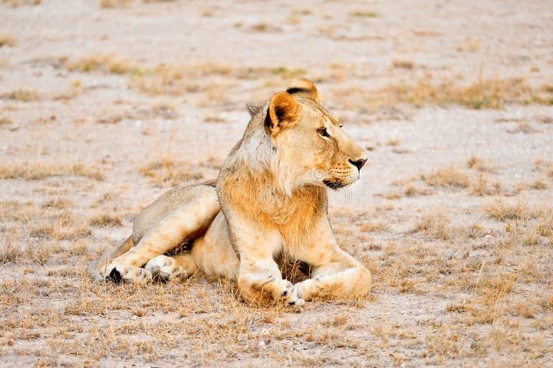 Löwe-Masai Mara Kenia lizenzfreies stockfoto