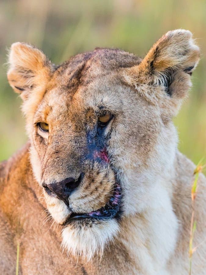 Löwe mit einer Narbe stockfoto