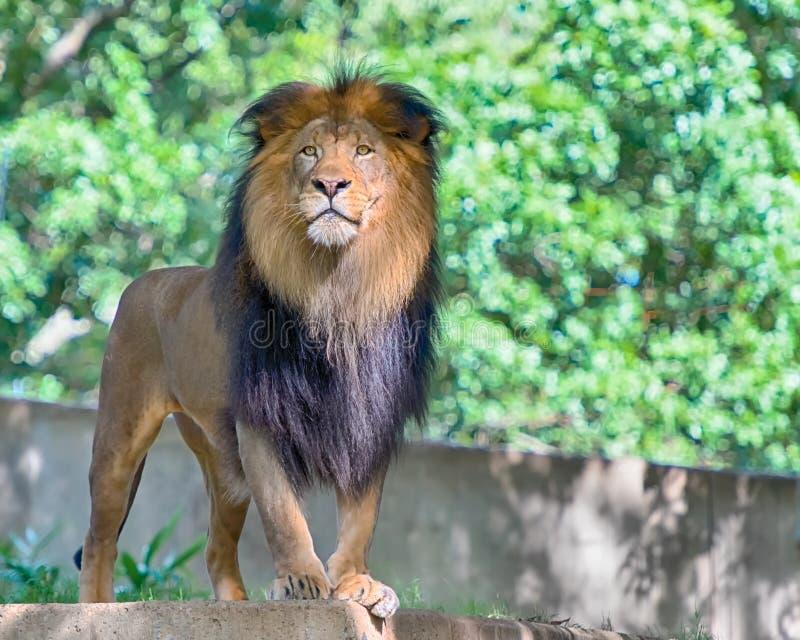 Löwe, nationaler Zoo Smithsonian, Washington, D C stockfotos