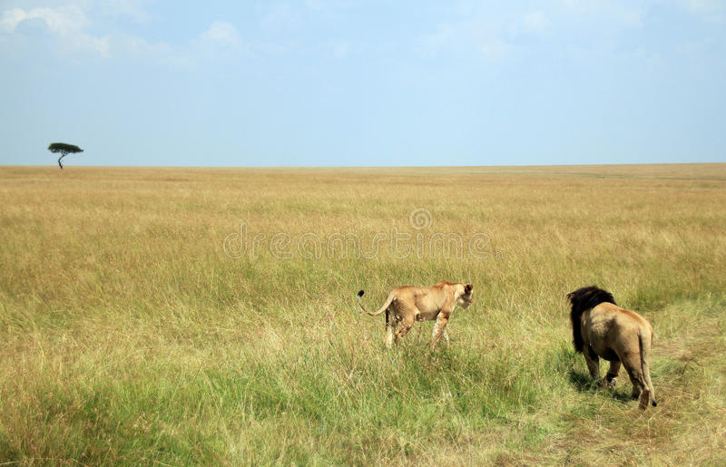 Löwe-Paare auf Savanne stockfotos