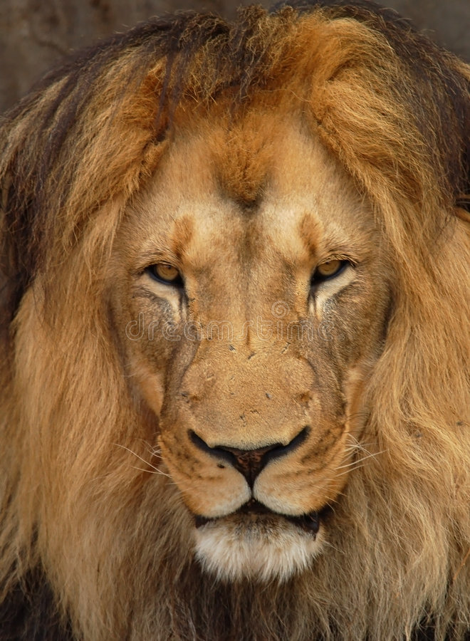 Löwe (Panthera Löwe) lizenzfreie stockfotografie