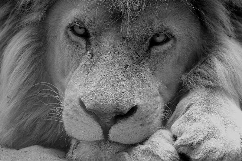 Löwe Schwarzweiss lizenzfreie stockfotos