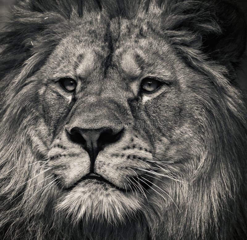 Löwe Schwarzweiss stockbilder