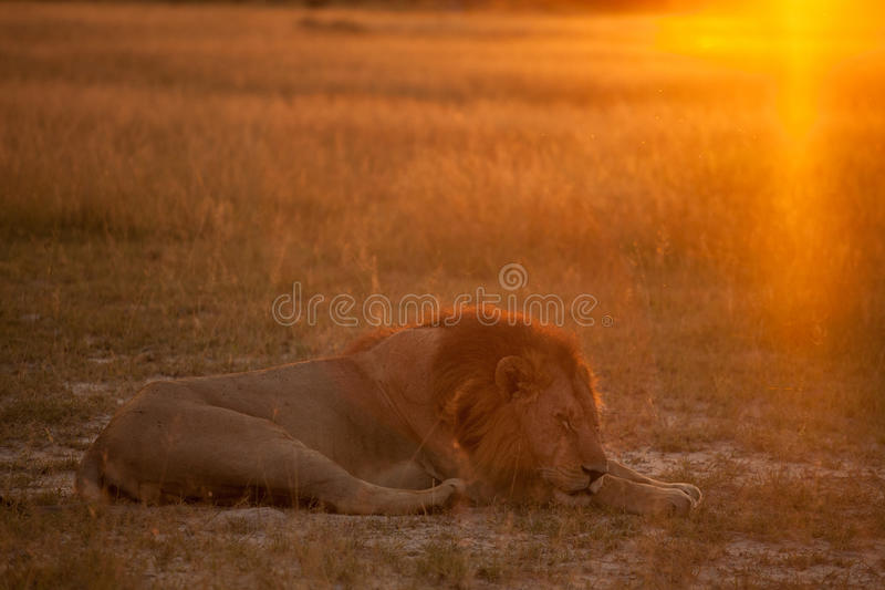Löwe am Sonnenaufgang stockfotos