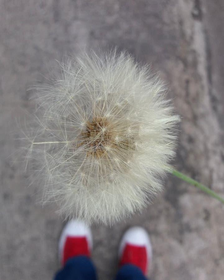 Löwe theeth Blume lizenzfreie stockfotografie