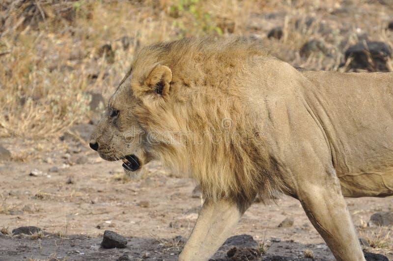 Löwe in Tsavo West lizenzfreie stockbilder