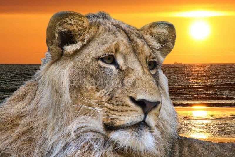 Löwe und Ozeansonnenuntergang lizenzfreies stockbild