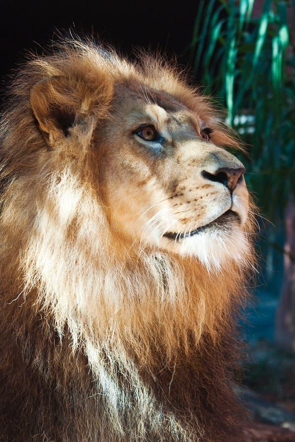Löwe von der Seite auf dem Anstarren weg in Abstand stockbilder