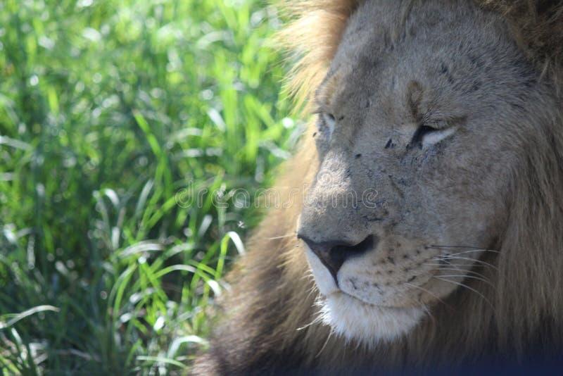 Löwe, wild, Natur, Dschungel, Tiere, Profile stockfoto