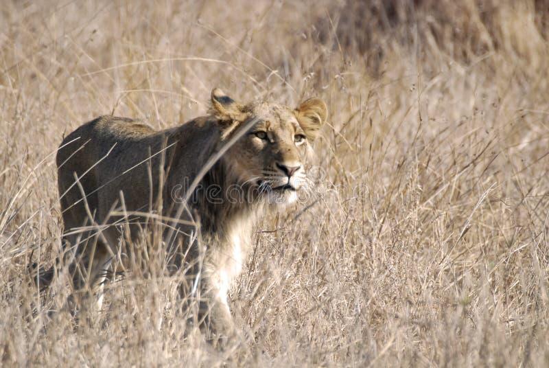 Löweanpirschen Lizenzfreies Stockbild