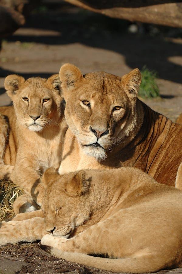 Löwefamilie lizenzfreies stockfoto