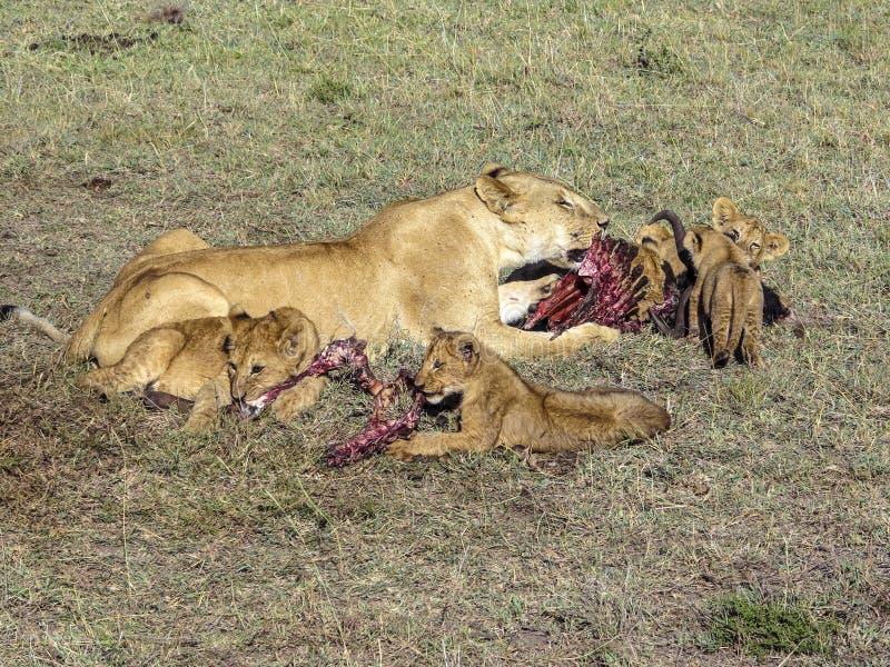 Löwefamilie, die auf Masai Mara National Park isst lizenzfreie stockfotos