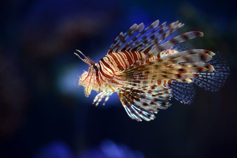Löwefische stockfoto