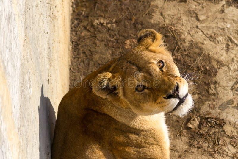 Löwefrau lizenzfreie stockbilder