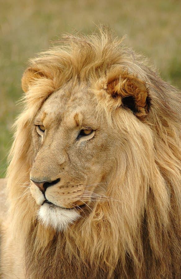 Löwehauptportrait lizenzfreie stockfotos