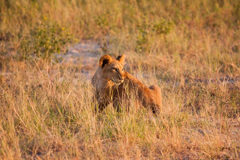 Löwejunges, das auf der Savanne Nationalparks Chobe sich entspannt lizenzfreies stockbild