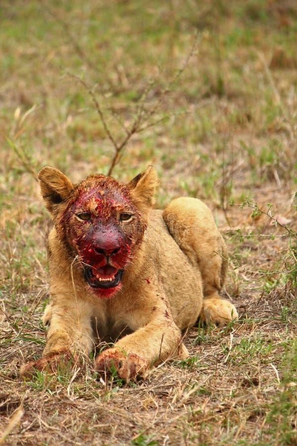 Löwejunges, das die Schmutze genießt stockbilder