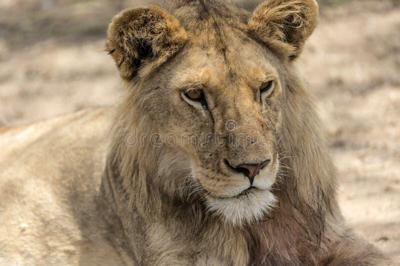 Löwejunges, das in Nationalpark Tarangire stillsteht lizenzfreie stockfotografie
