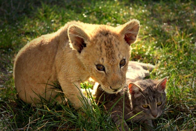 Löwejunges mit Katze stockbild