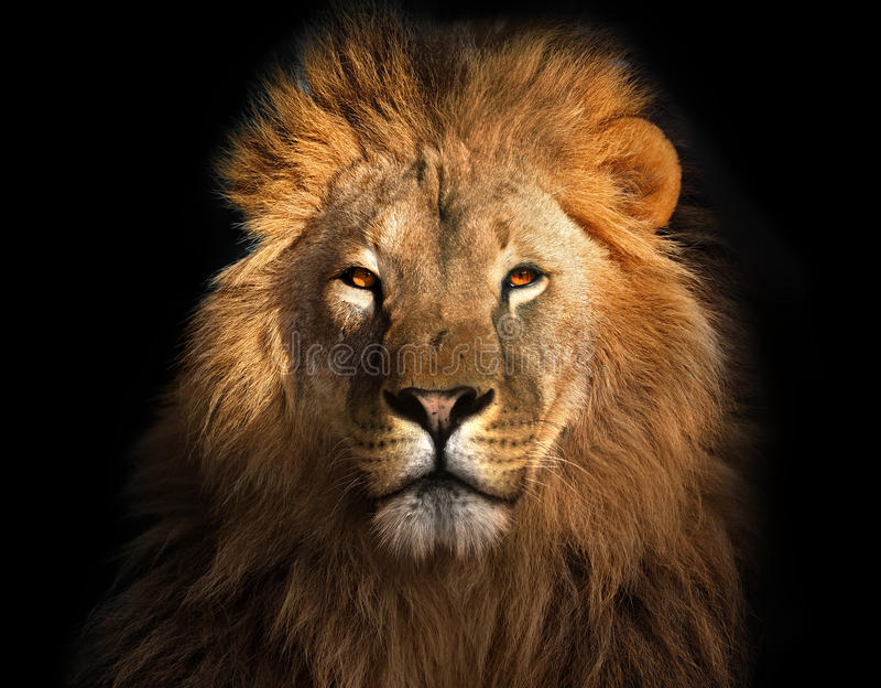 Löwekönig lokalisiert auf Schwarzem stockfotografie