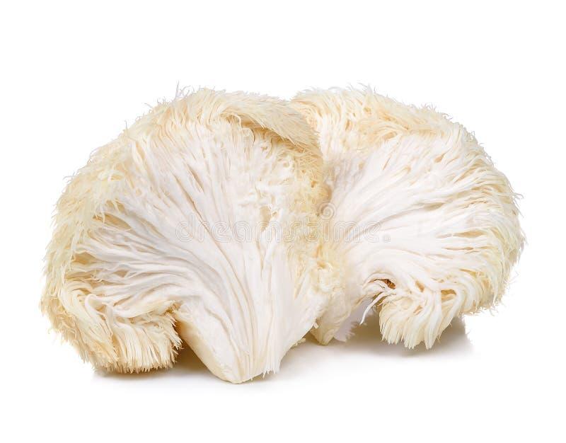 Löwemähnenpilz lokalisiert auf weißem Hintergrund lizenzfreie stockfotos