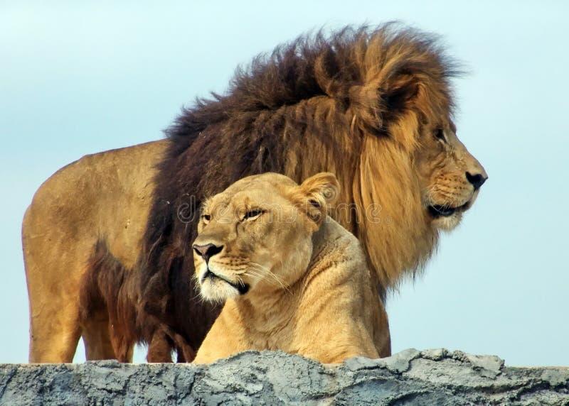 Löwen lizenzfreie stockfotos
