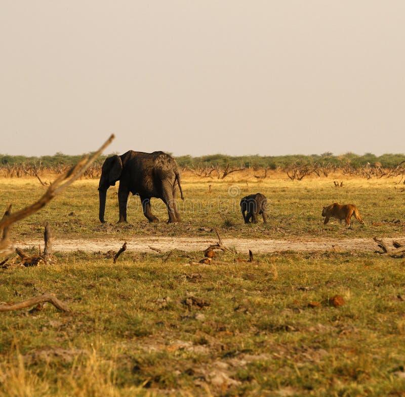 Löwen, die Babyelefanten jagen lizenzfreies stockbild